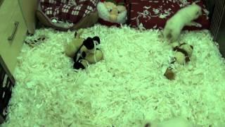 Little Rascals Uk Breeders New Litter Of Japanese Spitz Babies