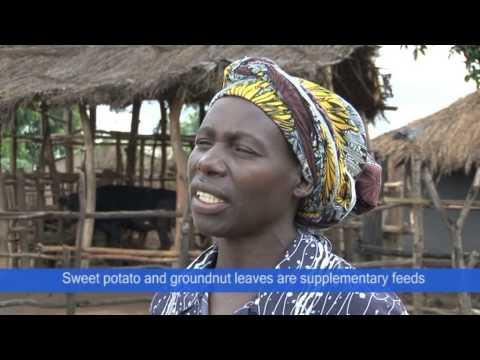 Ntchisi Dairy Farmer
