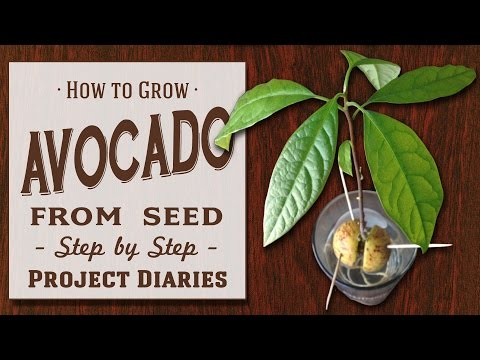 How To Grow Avocado From Seed Complete Step By Step Guide