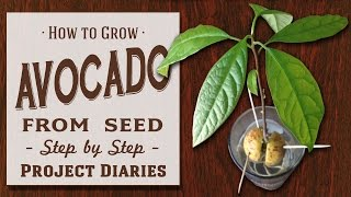 How to: Grow Avocado from Seed (A Complete Step by Step Guide)