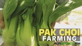 Vegetable farming: How to grow Bok Choy or Pak Choi #Agriculture
