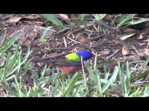 Painted buntings South Texas April 2013 songbird fallout