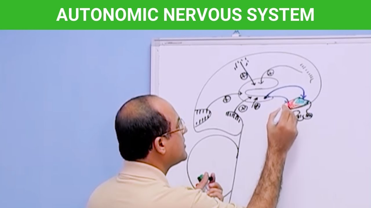 Autonomic Nervous System - Neuroanatomy