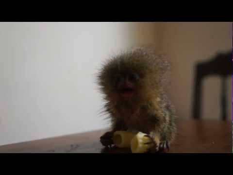 World's tiniest monkey eats a noodle