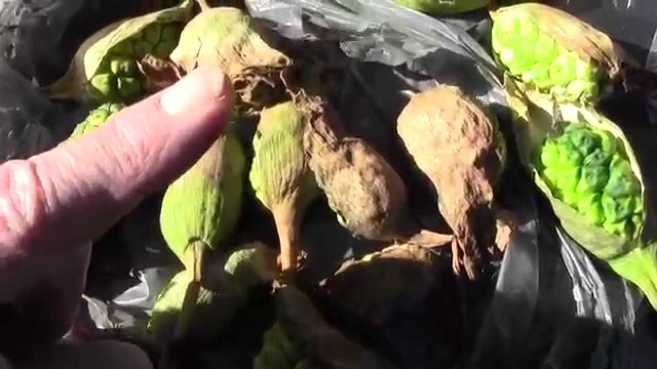Calla lily seed pods harvested what to look for youtube calla lily seed pods harvested what to look for izmirmasajfo