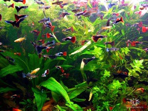 afcd99c9b7af7f акваріумні рибки гупі,меченосци,малінезія,крапчатий сомік і черепахи разом  в акваріумі