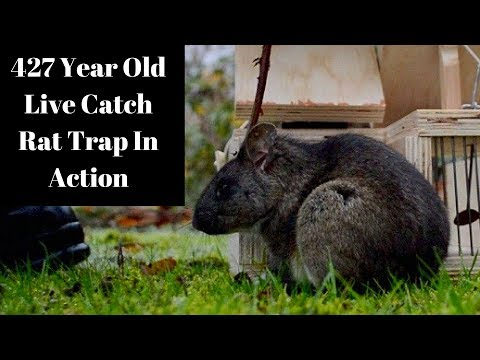 427 Year Old Style Live Catch Rat/Mouse Trap In Action! Mascall's Double Trap for Taking Rats & Mice