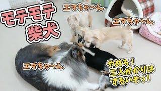 エマちゃん『ちょっ!三人がかりはずるいぞっ!』 犬のひみつきちホーム...