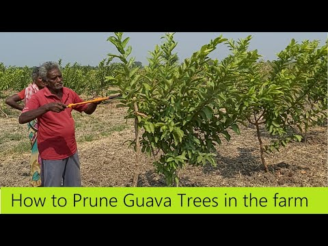 How to Prune a Guava tree / How to get more yield from guava / Guava Farming / Guava Cultivation
