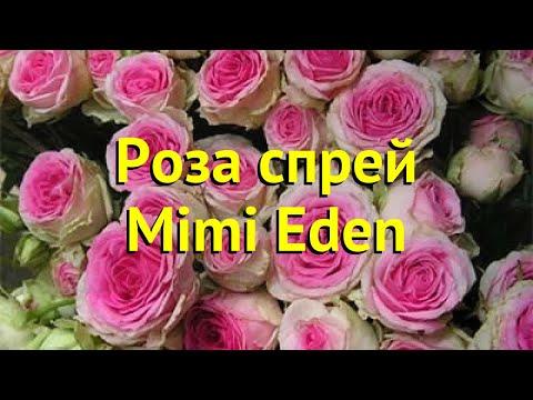 Роза спрей Мими Эден. Краткий обзор, описание характеристик, где купить саженцы Mimi Eden