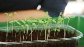 Tomaatin taimien kouliminen