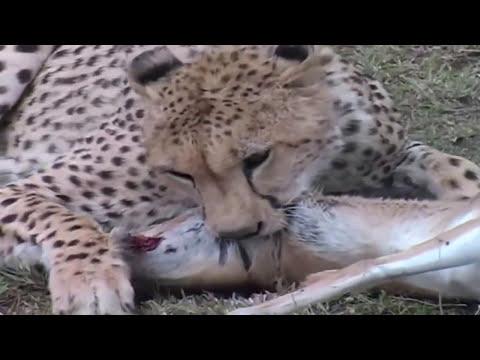 Naturaleza Salvaje: El Chita es el animal terrestre más rápido que existe.