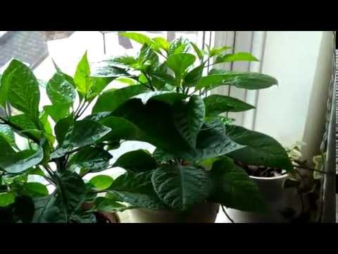 Healthy plants – Growing hot chili peppers indoor