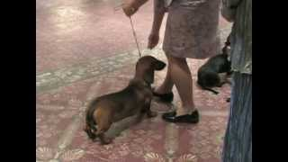 Keenose Midnight In Casablanca Wins Puppy Class!