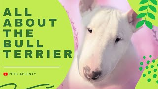 ALL ABOUT THE BULL TERRIER   Bull Terrier Facts   Dog Breed Info   Bull Terrier Training