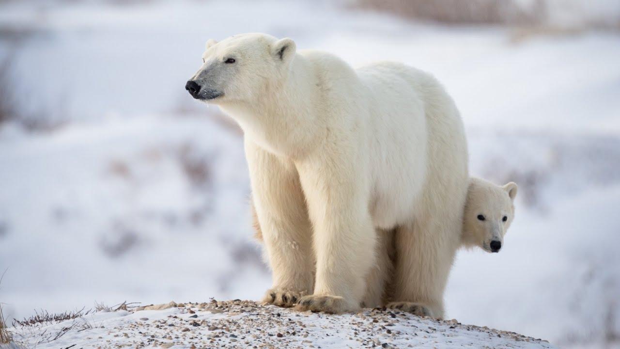 Polar Bear Facts & Conservation - Polar Bears International