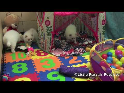 Japanese cross German Spitz puppies for sale