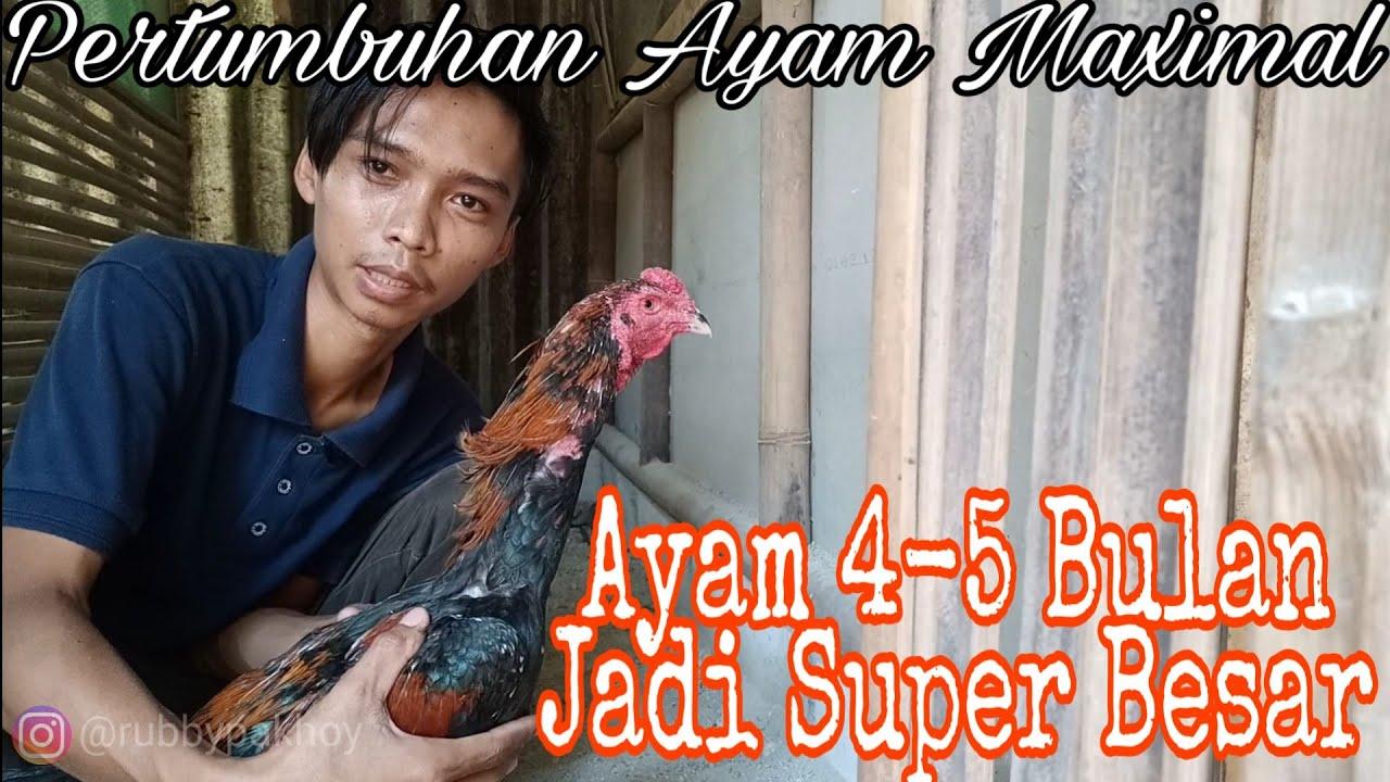 Merawat Ayam Bangkok Umur 4 Bulan Cepat Besar Tips Sukses