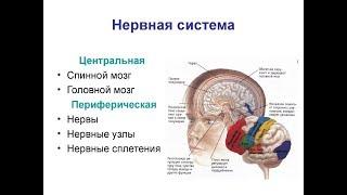 мозг нервная система человека