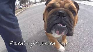 Ziggy - English Bulldog - Off Leash Training