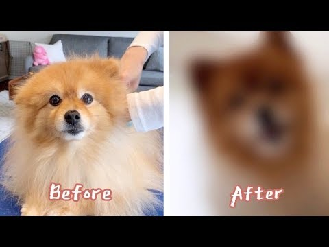 [eng-sub]-this-is-how-good-of-a-dog-groomer-you'd-become-after-8-years-of-self-grooming-experience