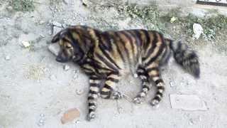 kathmandu(カトマンズ)のうちの近所の肉屋の前でのんびり生活する珍し...
