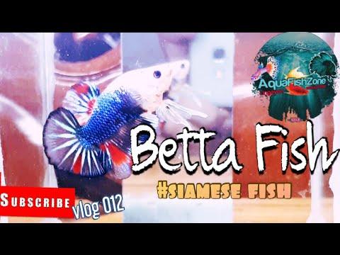 BETTA FISH #Siamese Fighting Fish