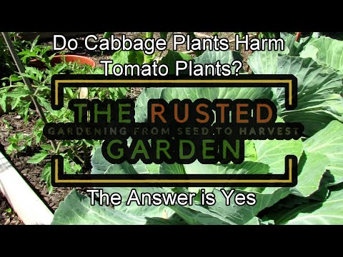 can-cabbage-plants-harm-tomato-plants?:-don't-plant-them-together,-the-answer-is-yes-&-here's-proof!