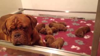 Dogue De Bordeaux Puppies With Mum