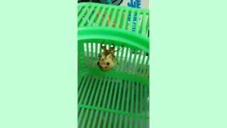 セミの羽化!(10倍速) 甥っ子が捕まえた幼虫が羽化しだした!!