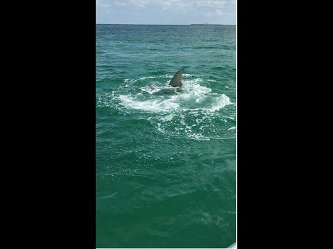 Massive Hammerhead Shark Chases Tarpon - Jumps in Boat