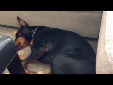 Doberman dreaming
