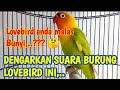 Lovebird Anda Malas Bunyi Coba Dengarkan Suara Burung Lovebird Ini  Mp3 - Mp4 Download