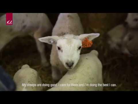 Ulvang: A visit to a sheep farmer in Hallingdal