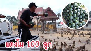 แตงโม 100 ลูก VS ฝูงลิง ( ที่ใหม่เยอะกว่าเดิม!!! )