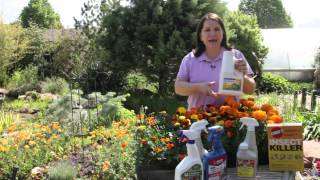 How to Control Pests & Disease for Marigolds : Grow Guru