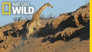 Trouble With The Climb | Giraffe: African Giant