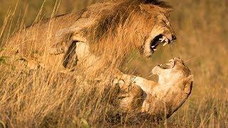 クレイジーバブーン vs ライオン vs ゼブラ vs ライオン , 現実と激しい...