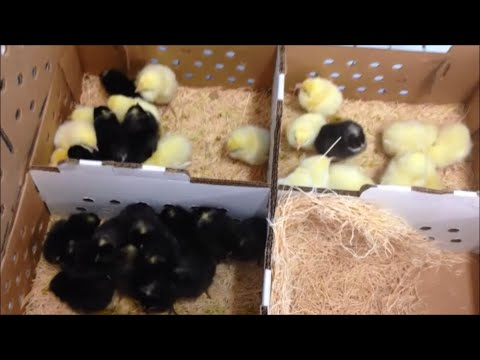 Our first mail order chicks - 35 white & barred rocks