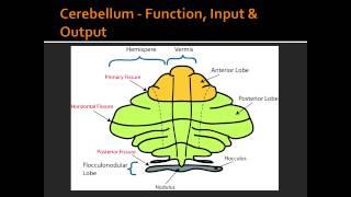 Cerebellum - Function, Input & Output