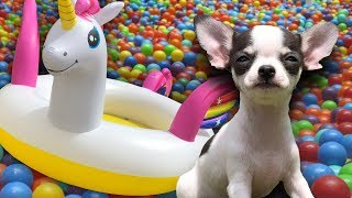 UNICORN DOG BALL PIT with Chihuahua Puppies | Sammie and his family need adopted