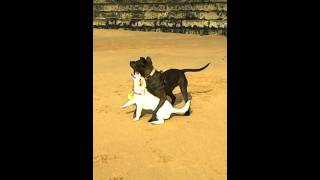 Kermit - The Jack Russel Vs Rustle - The Staffordshire Bull Terrier