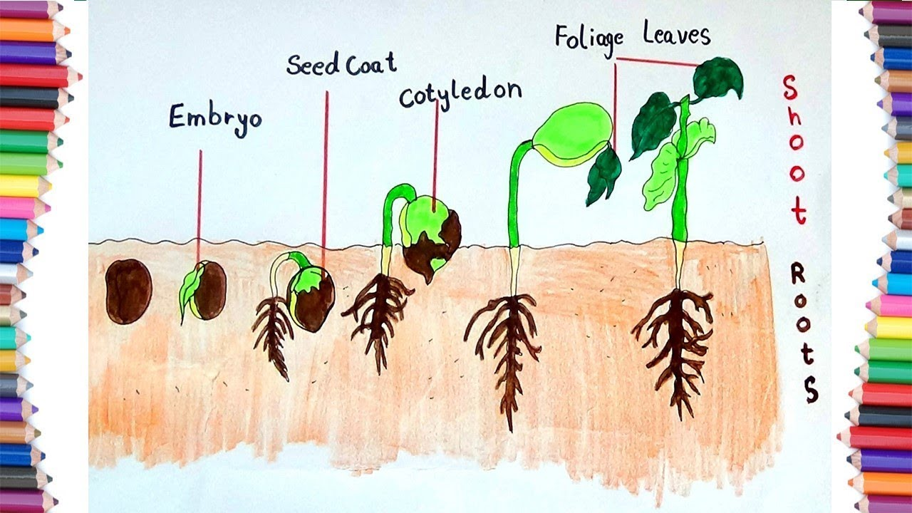 hight resolution of how to draw seeds germination for kids