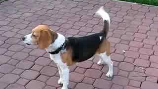 Beagle Howling