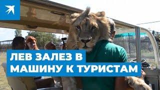 В Крыму лев залез в машину к туристам: видео