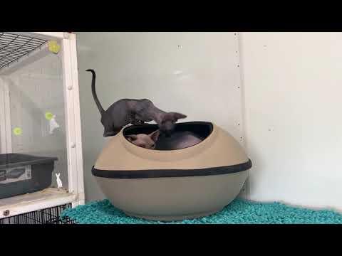 Sphynx kitten Pod playing!!!
