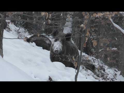 Hledání potravy - video Čergov