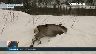 В Карпатах неизвестные подстрелили трёх оленей(В Карпатах неизвестные подстрелили трёх оленей. Лесники нашли две мертвые туши, одна раненная самка - сбежа..., 2017-02-10T18:26:09.000Z)