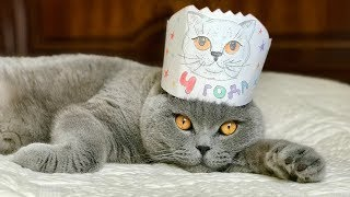 БРИТАНСКИЙ КОТ 7 месяцев & 4 года / British Cat Harry