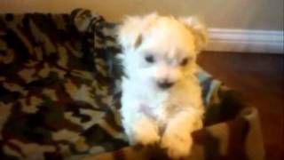 Maltese Puppies For Adoption By Maltese With Love Cute Puppies